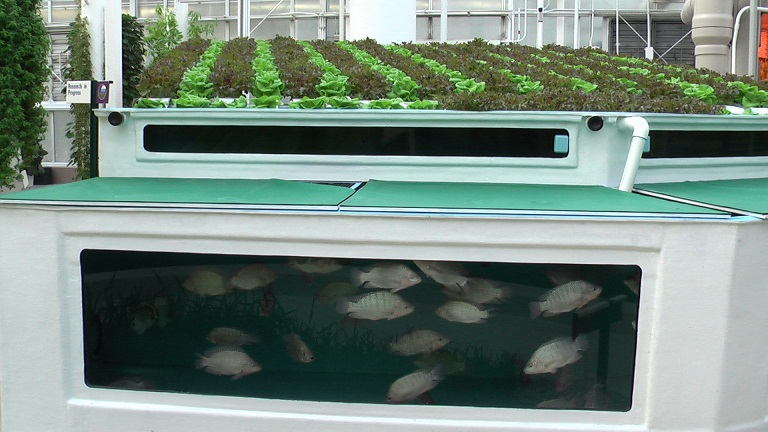 Aquaponics state of the art sustainable food at the buzzer for Arizona aquaponics