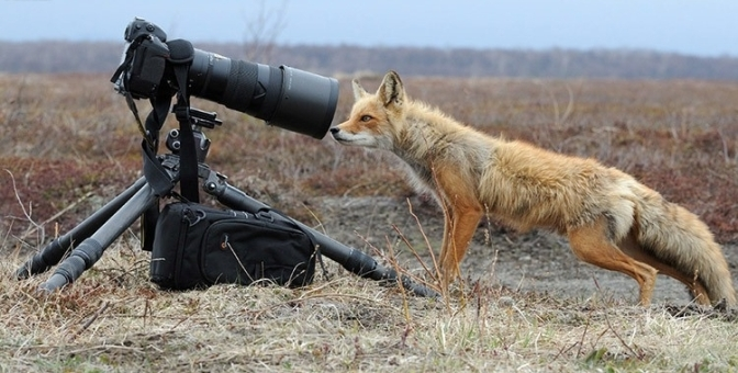 Funny-Fox-Kamchatka-photo